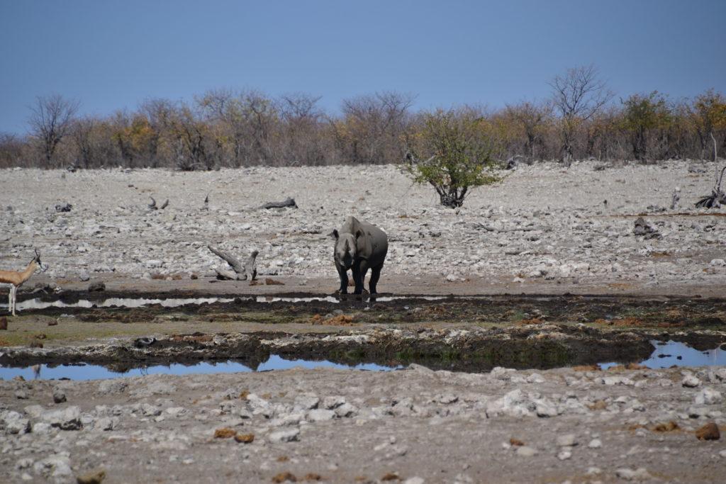 Black-rhino watching us in Etosha National Park, Namibia