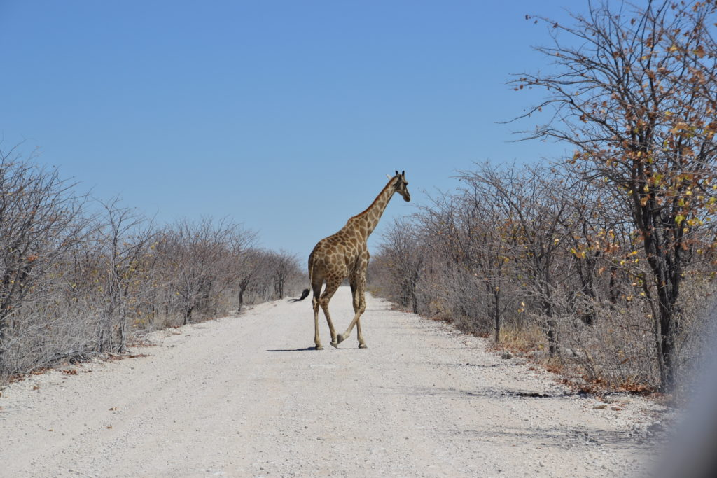Giraffe crossing the road in Etosha National Park, Namibia