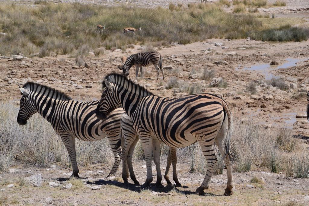 and also so many zebras in Etosha National Park, Namibia