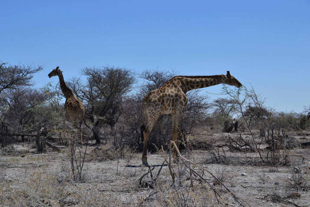 So many giraffes inside Etosha National Park, Namibia