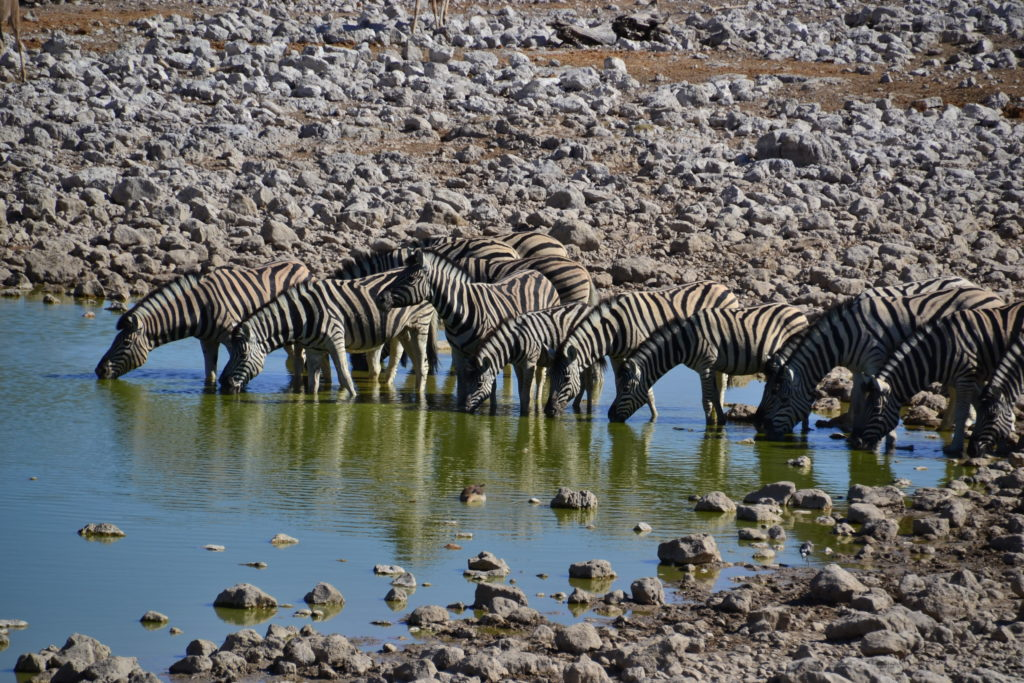 A herd of zebras in Etosha National Park, Namibia