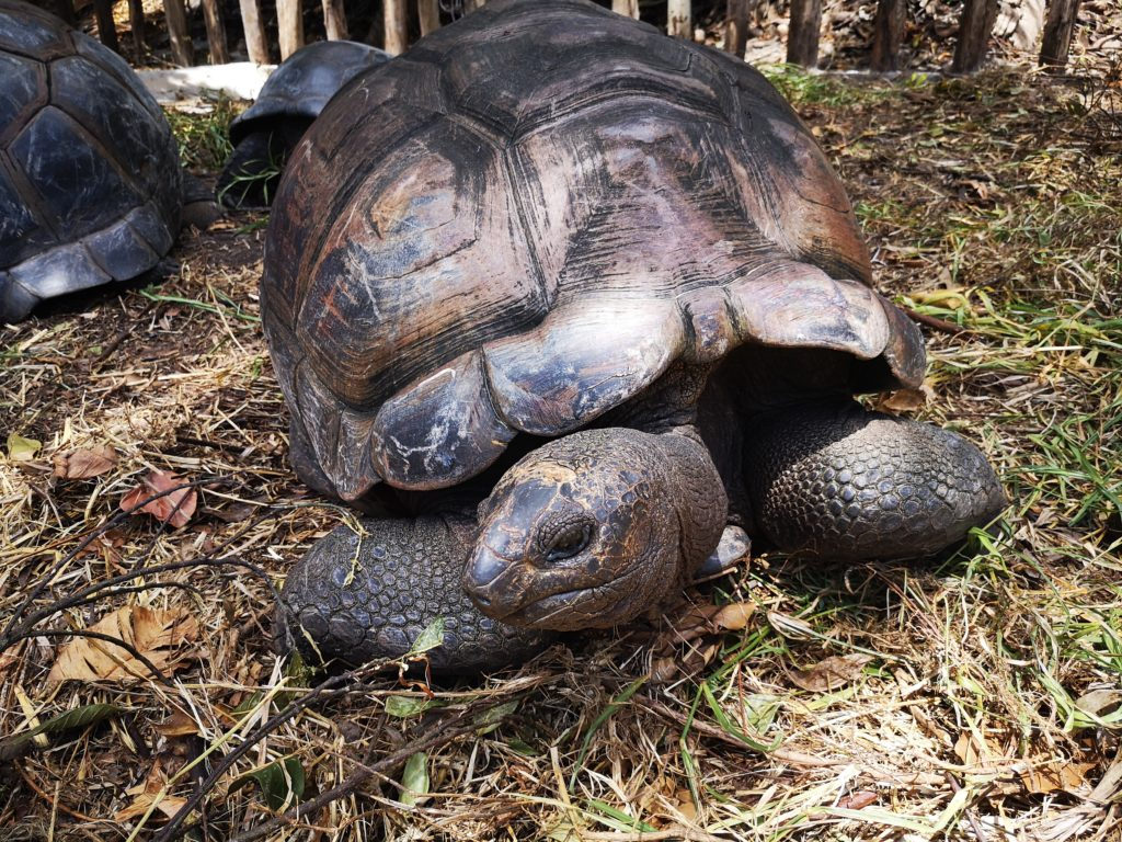 Aldabra giant tortoise, A complete guide to Praslin Island in Seychelles.