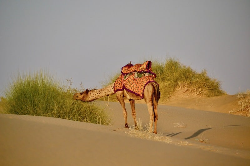 riding a Camel in Thar Desert is one of the 1- things to do in Jaisalmer, India