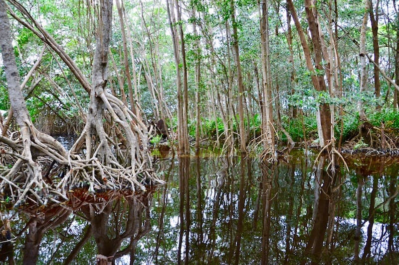 taking a boat tour through the mangroves forest