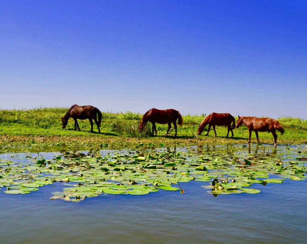 A Complete Guide To The DANUBE DELTA, Romania, The wild horses of Letea Forest.
